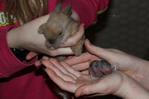 A bunny from litter #1 and litter #2..look at the difference two weeks makes with baby bunnies.