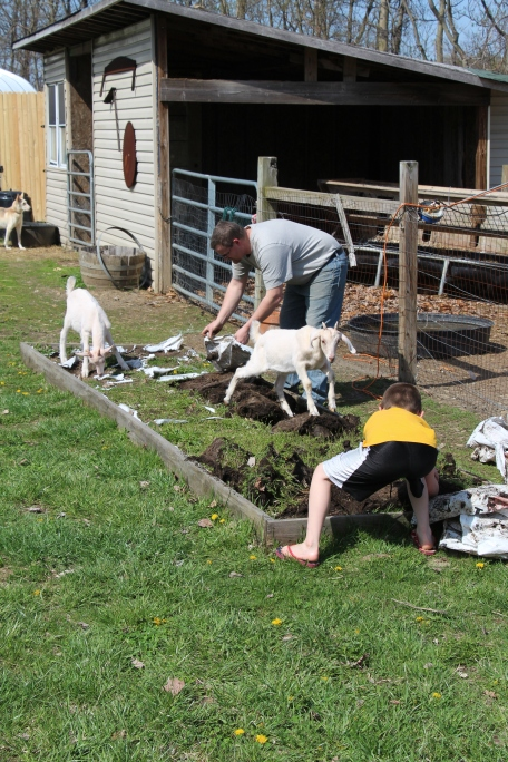 The goats helping with the weeding