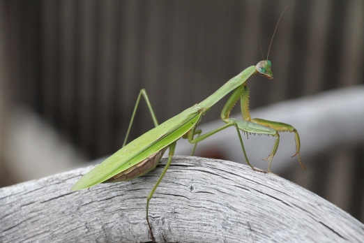 A beautiful praying mantis.