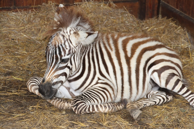 This baby Zebra was a big hit in the petting area!