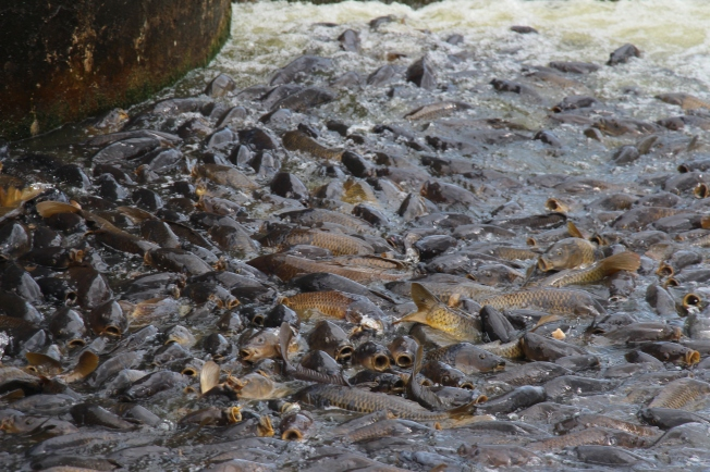 The carp at the spillway.