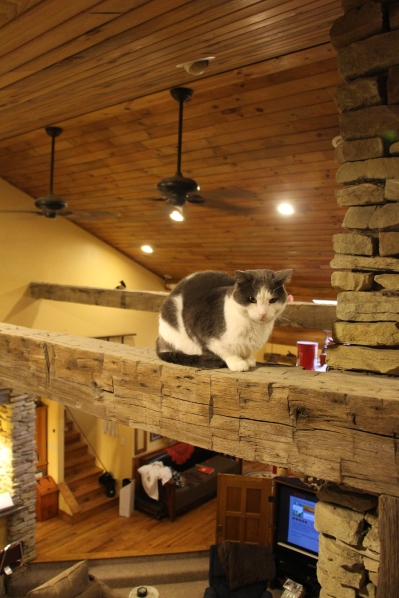 "Our cats love to ""perch"" up on the barn beams that span our living room. I think they like to look down on the action, far out of reach from the pups."