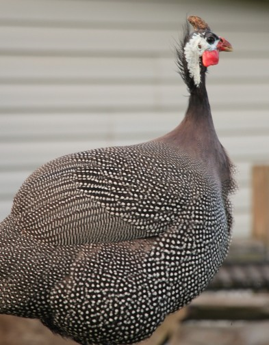 Gus, our Guinea fowl, making his presence known in the farm yard.