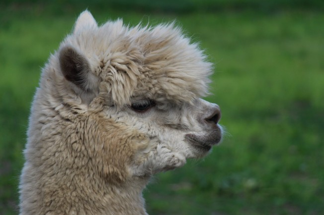 Blizzard, our alpaca.