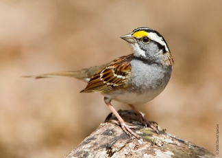 white_throated_sparrow 1