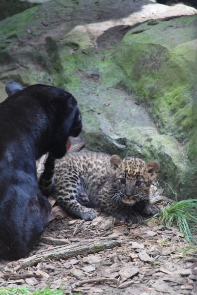 The precious baby jaguar.